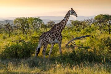 Giraffe from the Kruger national park