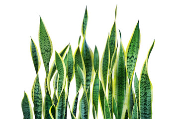 Green Leaves of Sansevieria trifasciata, Snake Plant Isolated on White Background