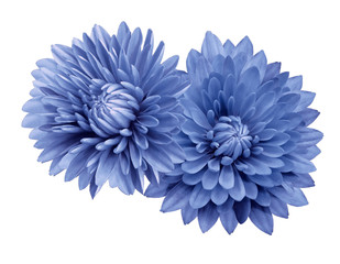 Photo sur Plexiglas Dahlia Blue flower chrysanthemums; on a white isolated background with clipping path. Closeup. no shadows. For design. Nature.