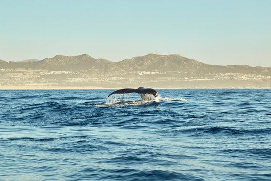 whales in Pacific Ocean near Cabo San Lucas