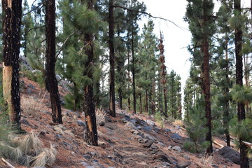 Hiking trail with many green pines near the big famous volcano Pico del Teide in Tenerife, Europe