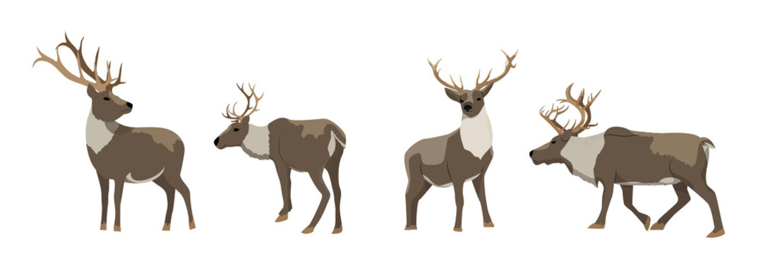 Set of wild reindeer. Caribou. Animals of the North, Alaska, Russia, Canada, Scandinavia. Vector object isolated on white background.