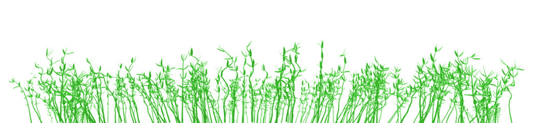 bamboo grass isolated