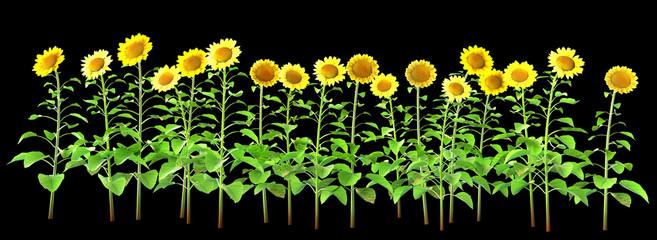 sunflowers isolated on black