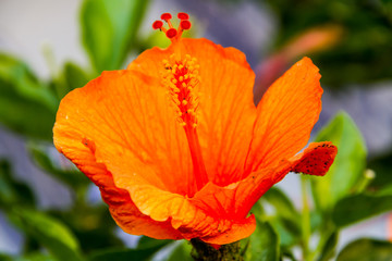 I bright orange hibiscus bloom with blurred green foliage.
