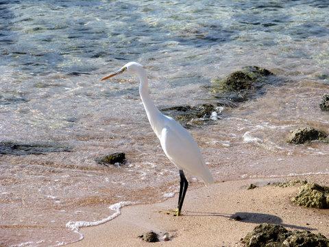 Small white heron (lat. Egretta garzetta) on the shores of  Red Sea.