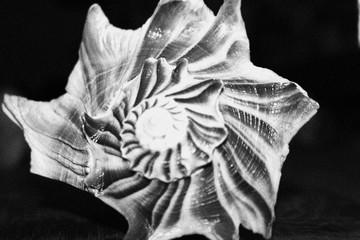 Sea Shell Black and White