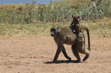 Zambian Baboon