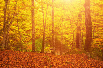 Beautiful vintage autumn landscape with fallen dry red maple leaves in beech forest
