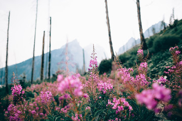 Pink flowers in a field with a mountain range in the background