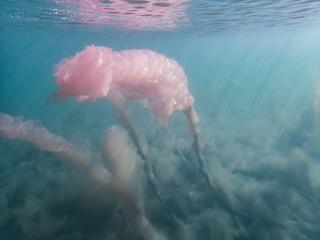 Pink organism underwater