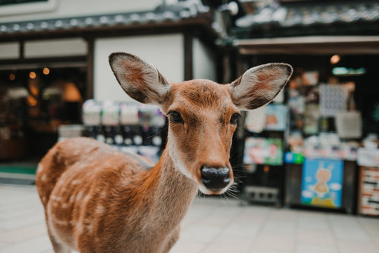 .Deer of Nara. Nara prefecture natural park around the Todai-ji temple. Photography of tourism in Japan.