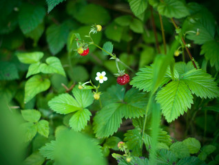 Wild strawberry growing in green forest. Close up view of wild strawberries