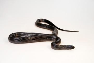 Schwarze Eierschlange (Dasypeltis atra) - african egg-eating snake