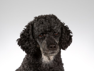 Black poodle portrait. Image taken in a studio