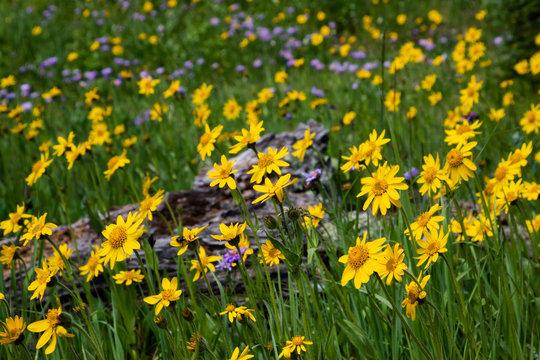 Arnica Blooms