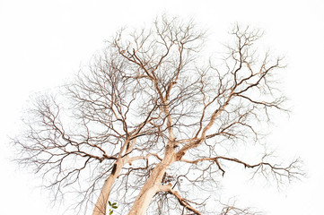 Lythraceae trees of dry trunk