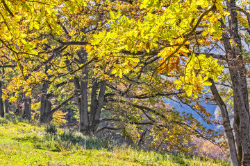 Oaks with yellow leaves in the autumn mountains, backlit