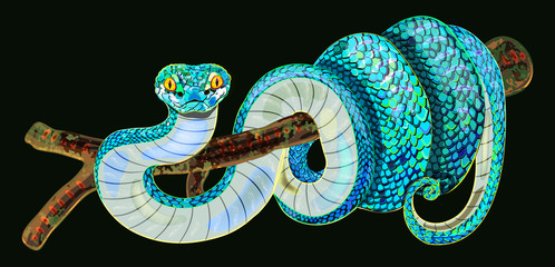 Trimeresurus trigonocephalus. Blue pit viper. Isolated image of bright blue and white head snake on tree. Realistic illustration of poisonous reptile. Exotic pet with beautiful scale. Terrarium shop.