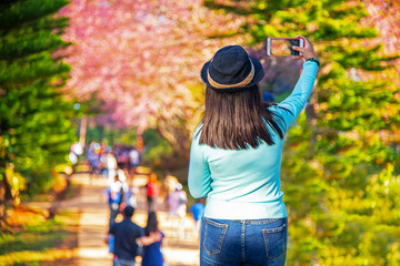 Girl traveller taking picture on her phone. Autumn and raining season with Cherry Blossoms Festivals at Khun Wang Royal Project Development Center in Doi Inthanon Chiang Mai Thailand.