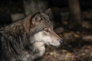 Timber Wolf (also known as a Gray Wolf or Grey Wolf) Portrait with Fall Color in the Background