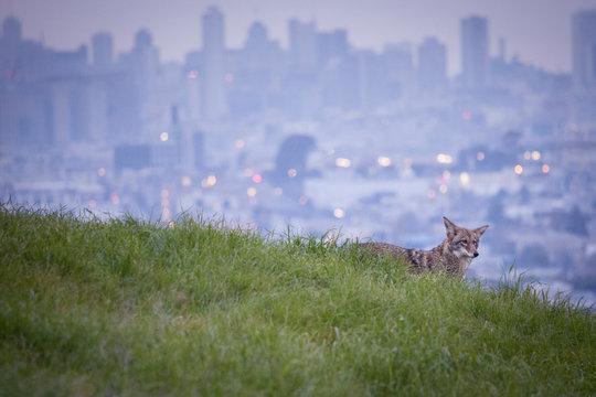 Urban coyote on hill overlooking San Francisco skyline
