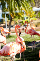 Pink Caribbean flamingo, Phoenicopterus ruber, in the middle of flock flamingos