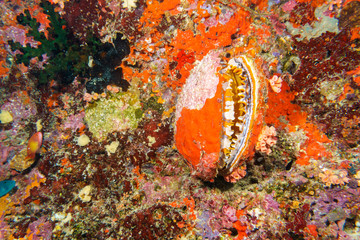 Thorny oyster (Spondylus varians) underwater in the tropical coral reef of the indian ocean -
