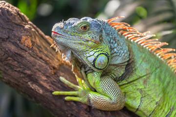 A green big iguana is lying on a tree branch