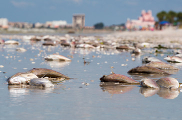 Dead fish washed up on St. Pete Beach, Florida from the Red Tide plaguing the coast of Florida.
