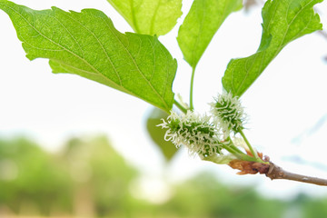 Fresh Mulberry fruits on tree, .Mulberry with very useful for the treatment and protect of various diseases. .Organic fresh, unripe fruit.