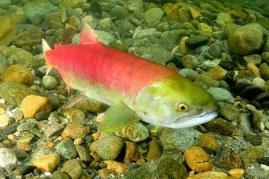 Female Sockeye Salmon