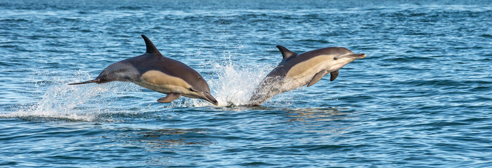 Fotobehang Dolfijn Dolphins in the ocean. Dolphins swim and jumping out of water. The Long-beaked common dolphin. Scientific name: Delphinus capensis. False Bay. South Africa.