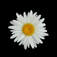 Realistic daisy flower isolated on dark background