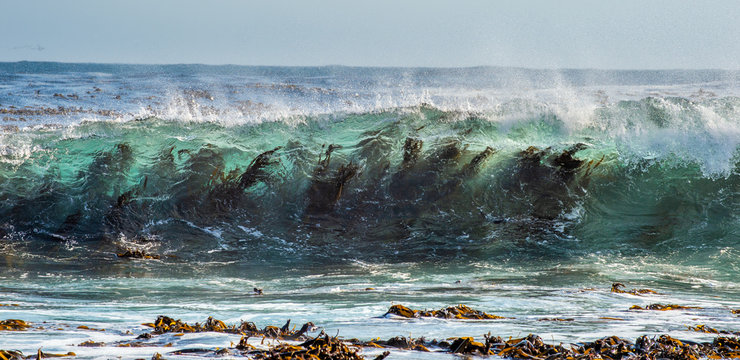 Seaweed through the surf wave. Cape of Good Hope. South Africa.