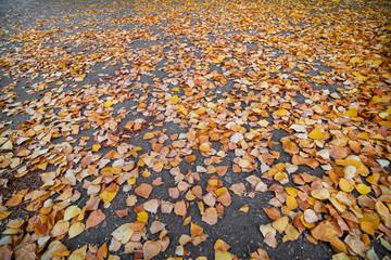 Yellow fallen birch leaves on an asphalt road. Selective focus