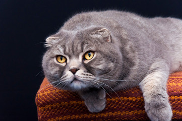 Yellow-eyed Scottish Fold male cat on a chair ready to attack