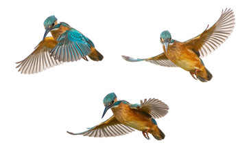 Collage of three Common Kingfisher (Alcedo atthis) in flight isolated on a white background