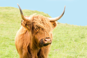Wall Mural - scottish Highlander on the grass dike