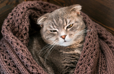 british cat in a scarf is warming from the cold, winter is getting close