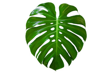 Monstera plant leaf, the tropical evergreen vine isolated on white background, Real leaves decoration for composition design.Tropical,botanical nature concepts ideas.clipping path included.