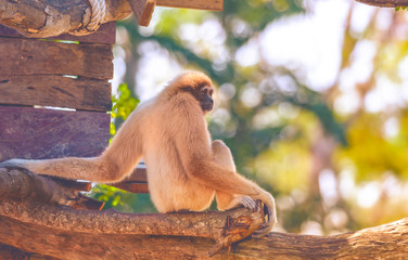Image of a gibbon swing and sit on trees. Wild Animals. Beautiful Light  Beautiful wool