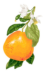 Grapefruit with blooming flowers on the branch of citrus tree in vector