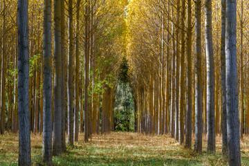 Bosque de chopo canadiense en otoño. Populus canadensis.