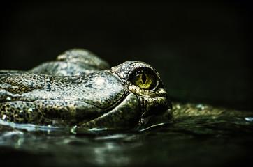 Eye of Gharial - Gavialis gangeticus, green filter