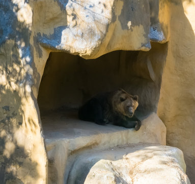 Brown grizzly bear sitting in his cave home in the mountains animal wildlife in nature environment