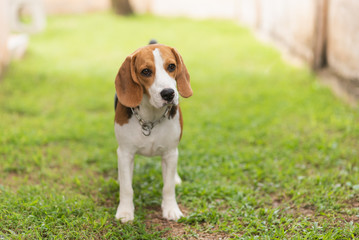 portrait puppy beagle standing on the green grass