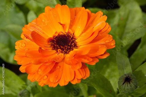 f5d123dbd Beautiful colorful calendula flower