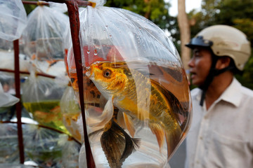 Ornamental fish are seen for sale in plastic bags on the street in Hanoi