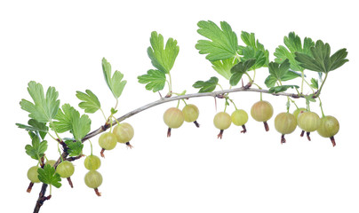 isolated branch with light gooseberries